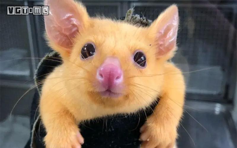 """一只澳大利亚的负鼠,被名为""""皮卡丘"""""""